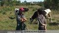 За вирощення телят тепер дають 1000 гривень