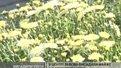 У центрі Львова висадили майже 4 тисячі хризантем