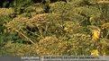 Екологи закликають боротися із небезпечною рослиною - борщівником