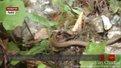 Цьогоріч через укуси змій до сколівських медиків уже звернулося 12 осіб