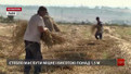 Працівники Шевченківського гаю заготовляють жито для стріх музейних експонатів