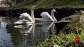 На озеро Стрийського парку після зимівлі повернулася пара лебедів
