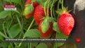 Щодня із плантації полуниць у приватному господарстві на Львівщині збирають до 100 кг ягід