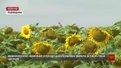 Львівщина вже кілька років експортує соняшник у Прибалтику та інші країни Європи