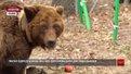 У притулку «Домажир» реабілітовують врятовану ведмедицю, на якій тренували собак
