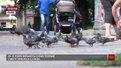 Львів'ян закликають не підгодовувати голубів через стрімке збільшення популяції цих птахів