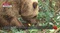 Ведмеді з притулку «Домажир» готуються до зимового сну