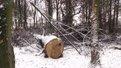 Незаконну вирізку 200-річних дубів у дрогобицькому парку розслідує СБУ