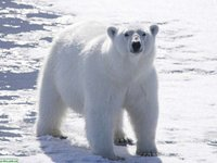 Белый медведь, ошкуй (лат.  Ursus maritimus) - это самый крупный хищный представитель млекопитающих из семейства...