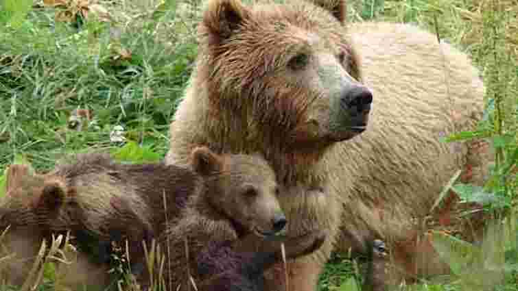 На Прикарпатті ведмеді напали на дівчину