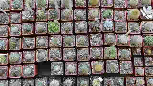У Львові відкрилася унікальна виставка кактусів та фіалок