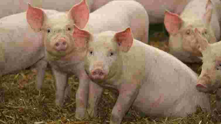 Міністр аграрної політики назвав причини поширення африканської чуми свиней