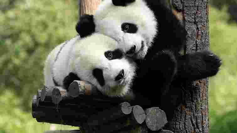 Гігантська панда покинула список вимираючих видів