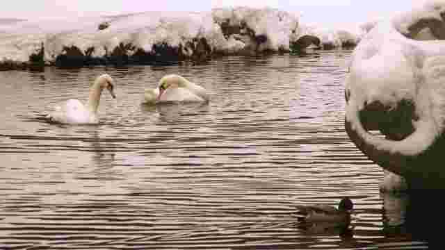 Через негоду зі Стрийського парку можуть забрати лебедів