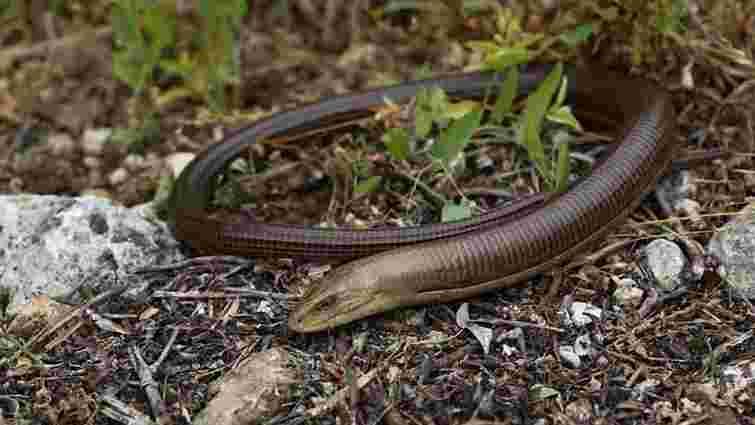 У Сколівському районі змія вкусила 9-річну дитину на власному подвір'ї