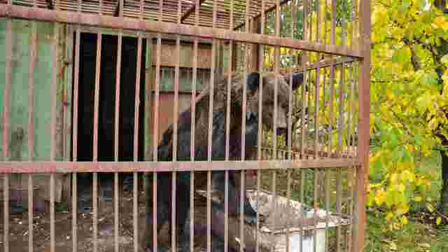 У ведмежий притулок «Домажир» доправили нову ведмедицю