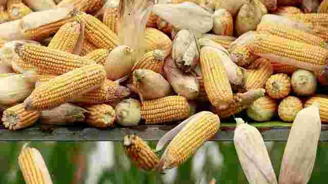 Китайські трейдери вирішили купувати кукурудзу в Україні замість США