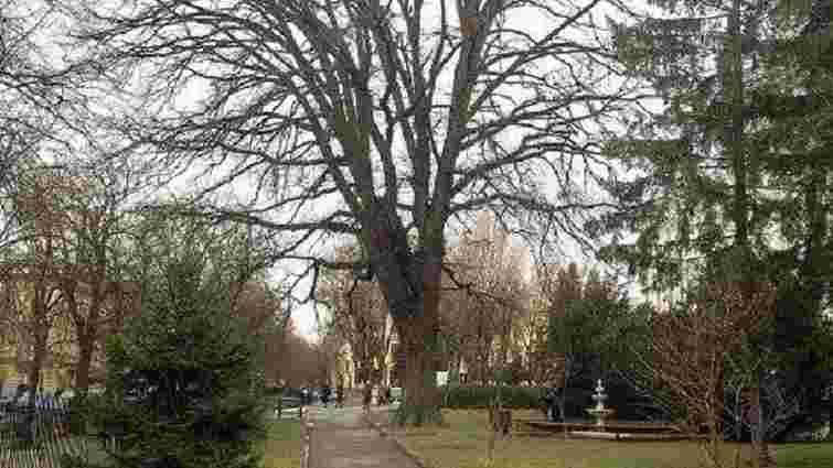 П'ять дерев у Львові визнали об'єктами місцевого природно-заповідного фонду