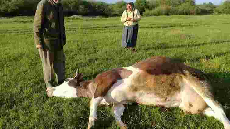 Масове отруєння селянських корів сталося на Івано-Франківщині