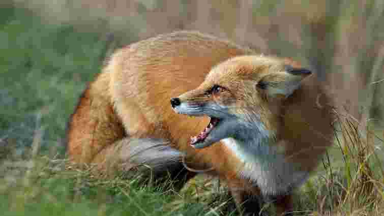 Цього року на Львівщині зафіксовано 40 випадків сказу серед тварин
