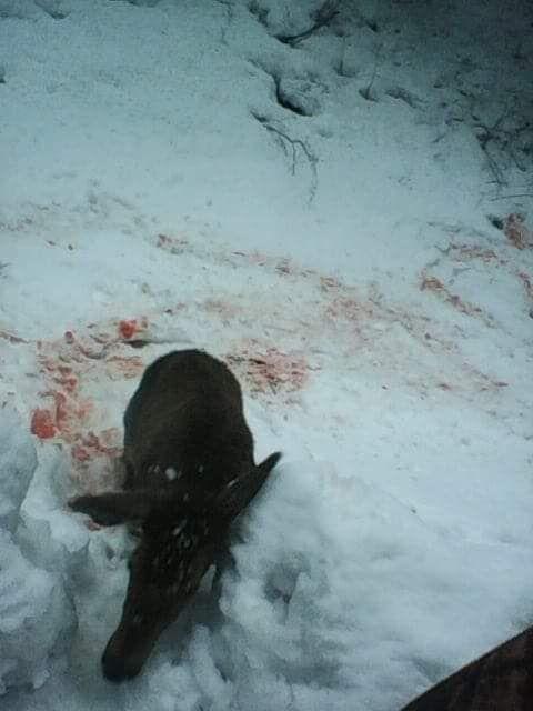 Туша вбитого оленя в лісі на Закарпатті, фото Миколи Кокіша-Мельника