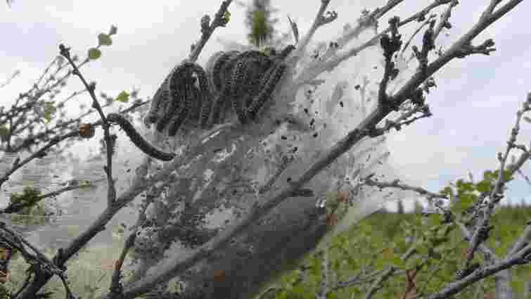 Західну Європу атакувала токсична гусінь дубових шовкопрядів