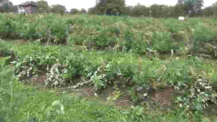 На Прикарпатті невідомі понищили лохину на фермі активіста Революції Гідності