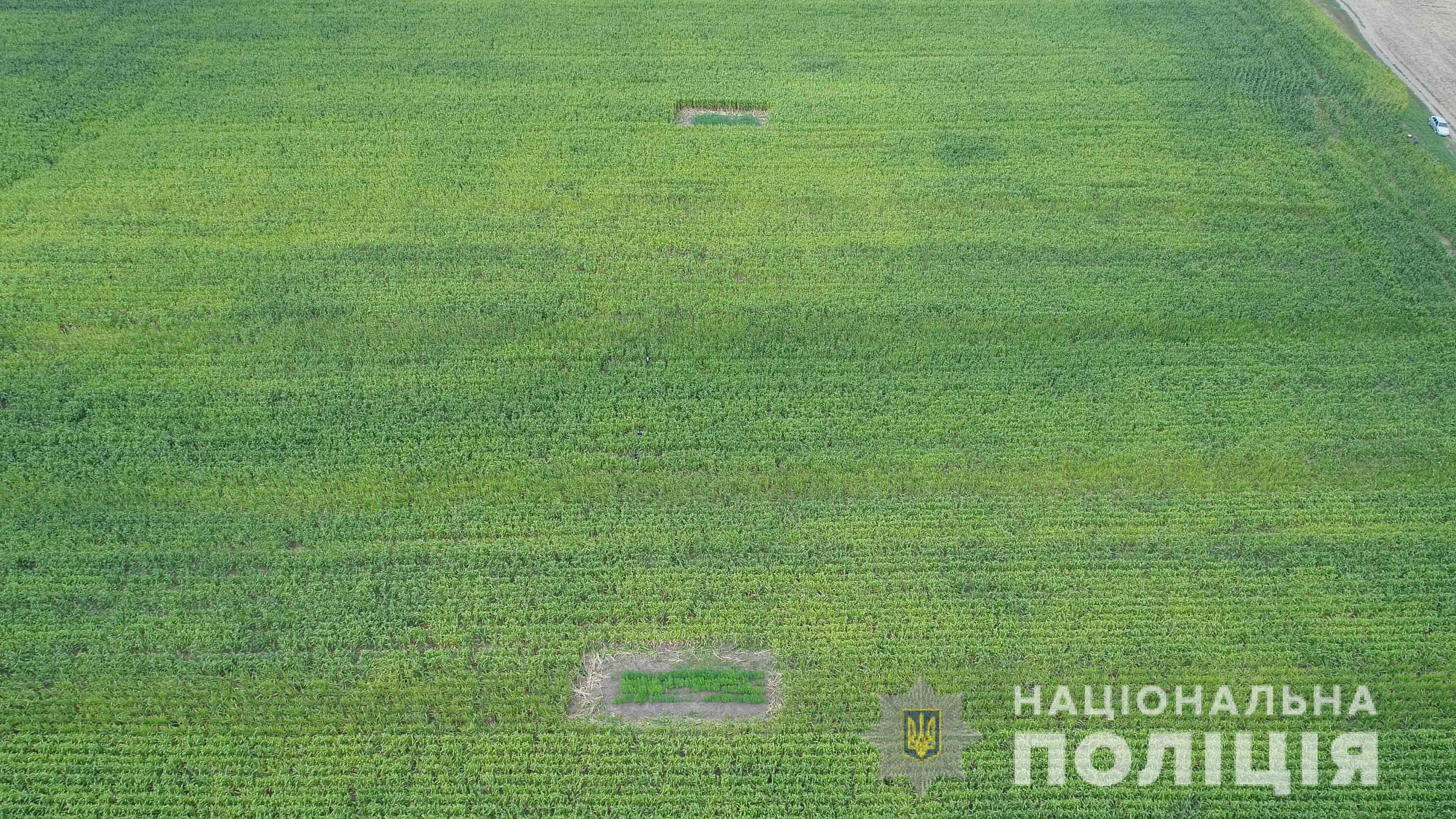 Десять ділянок з коноплями були розташовані приблизно на відстані 100 метрів одна від одної