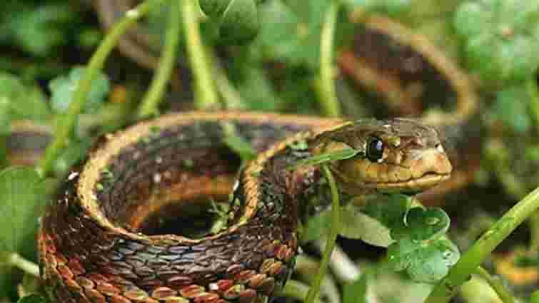 Двоє мешканців Львівщини потрапили до реанімації через укуси змій