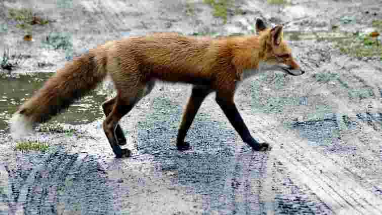 На Левандівці вакцинуватимуть всіх тварин через випадок сказу у лисиці