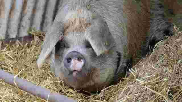 Чверть світового поголів'я свиней невдовзі може загинути від африканської чуми