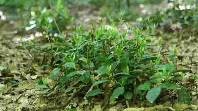 На Закарпатті вперше за півстоліття рекультивували унікальну плантацію чаю