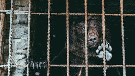 У ведмежий притулок «Домажир» привезли трьох ведмедів, які жили в ресторанах