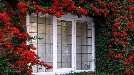 Найкращі види ліан для подвір'я: як і де їх висаджувати