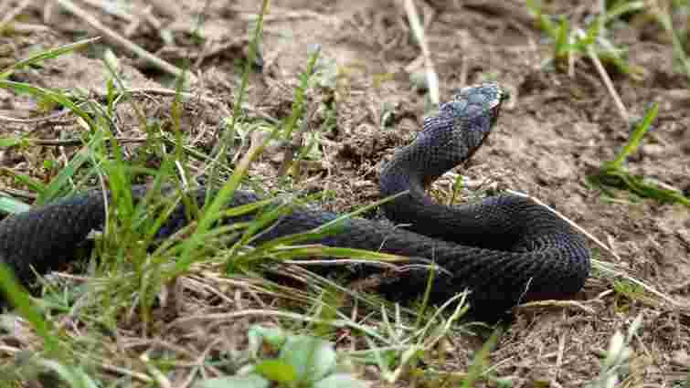 Трьох людей на Львівщині госпіталізували після укусу змій