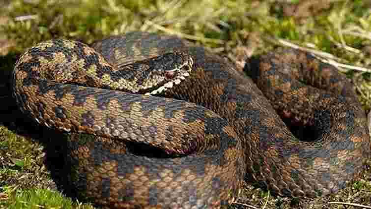 Мешканець гірського села на Львівщині потрапив у реанімацію через укус змії