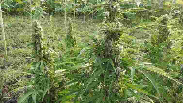 На Херсонщині поліція виявила поле з коноплями на 300 млн грн