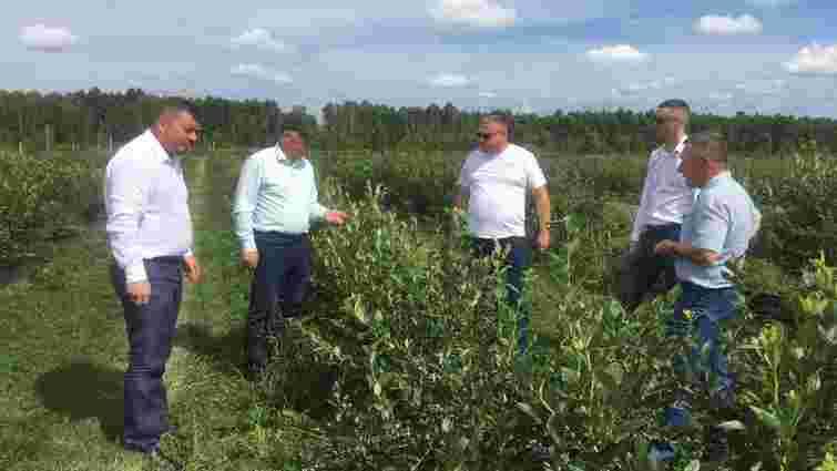 На Волині розширять плантації лохини на 85 гектарів