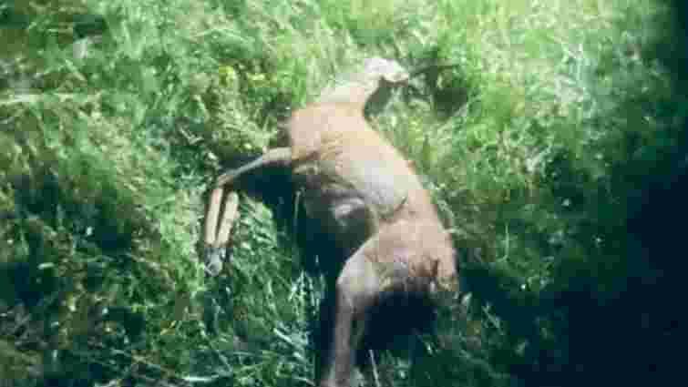 Чотирьох браконьєрів затримали за вбивство козулі на Волині
