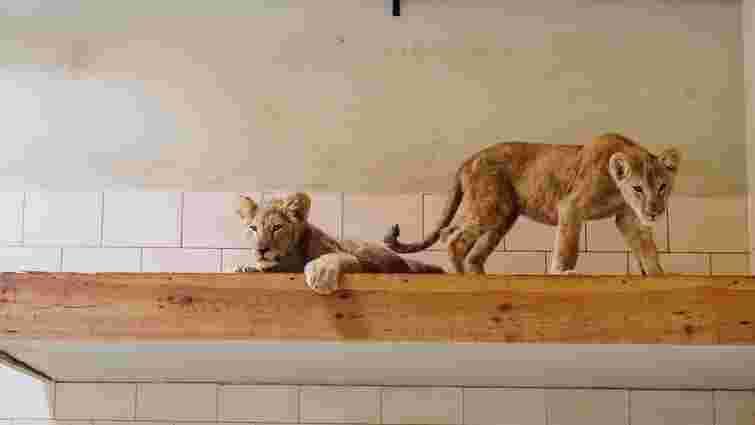 До луцького зоопарку привезли двох шестимісячних левенят