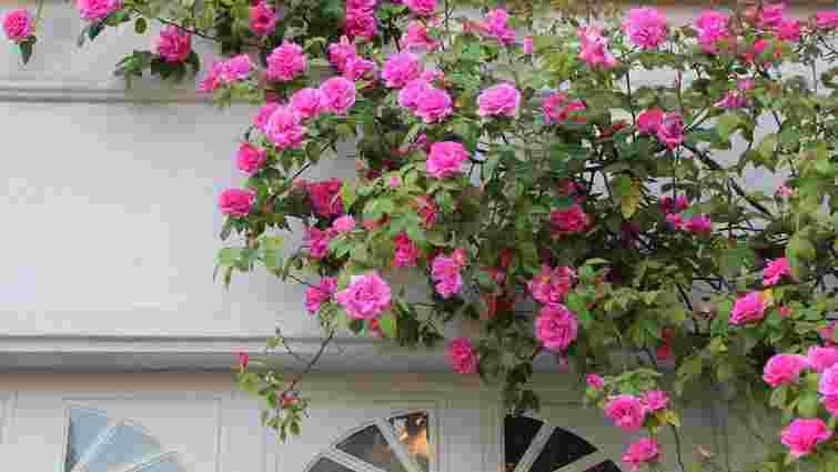 Неповторний кущ: як садити та доглядати плетисті троянди