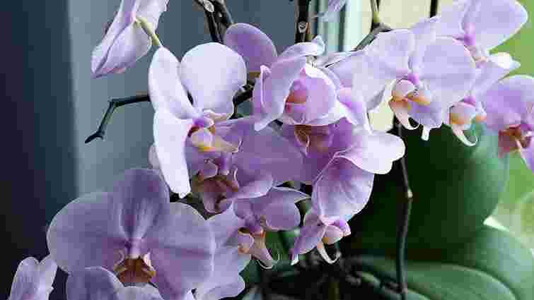 Аби цвіли увесь рік: як правильно доглядати кімнатні орхідеї