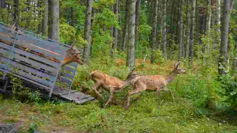На Волині у природний вольєр випустили 120 оленів