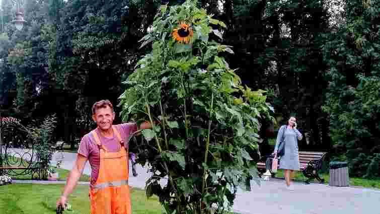 З центрального парку Луцька невідомі вкрали триметровий соняшник