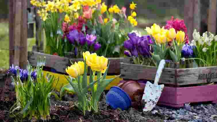 Гіацинти, тюльпани, крокуси: правила посадки цибулинних квітів восени