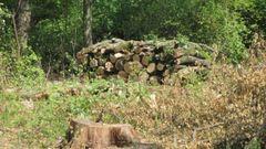 На Тернопільщині чоловіка посадили на три роки за рубку двох дерев