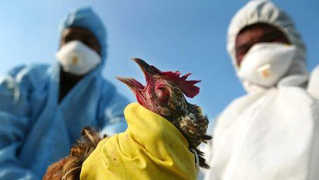 У Китаї поширюється новий штам пташиного грипу з високою смертністю