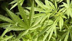 В Україні видали першу ліцензію на виробництво продуктів з марихуани