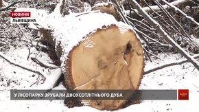 У міському парку Дрогобича вирубують 200-літні дуби