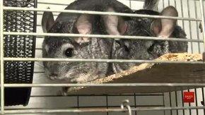 У львівській Домівці врятованих тварин прихистили шиншил із приватної ферми